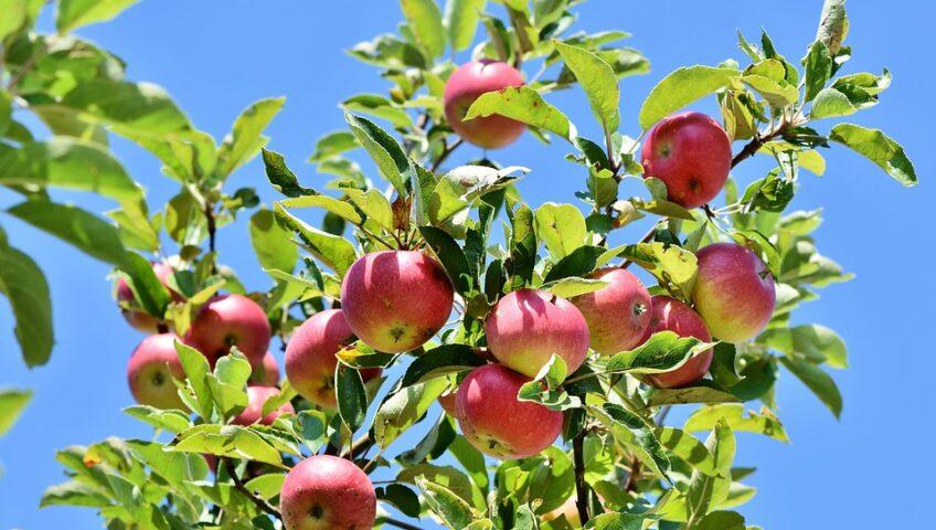 Growing apple Trees in MN - Pro-Tree