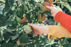 Benefits of apple trees at home - Pro Tree