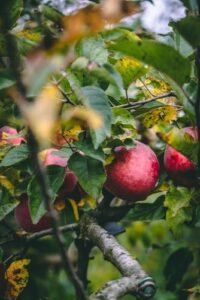 treating apple scab in MN