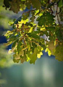 treating oak wilt in MN