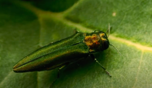EAB inspection& treatment in MN